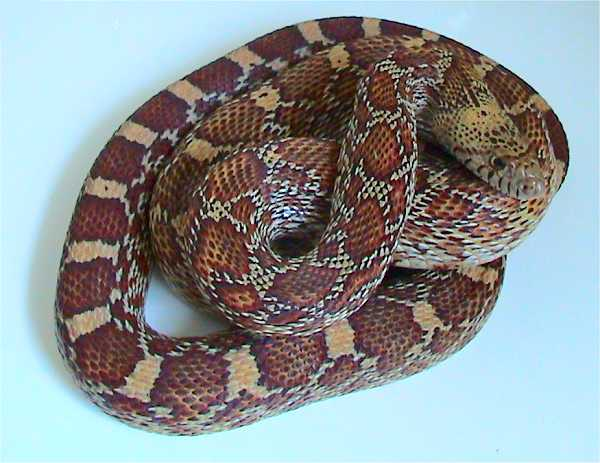 Sonoran Gopher Snake | Pituophis catenifer-affinis photo