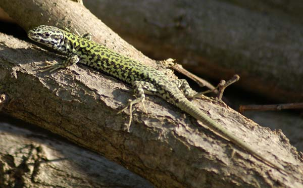 Ruin Lizard | Podarcis sicula photo