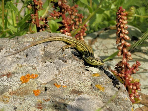 Ruin Lizard | Podarcis sicula photo