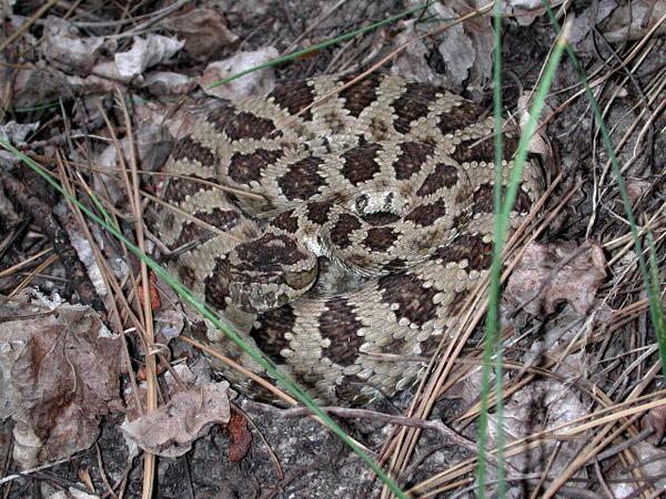 Great Basin Rattlesnake | Crotalus oreganus-lutosus photo