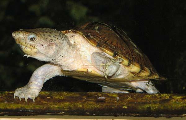 Razorback Musk Turtle | Sternotherus carinatus photo