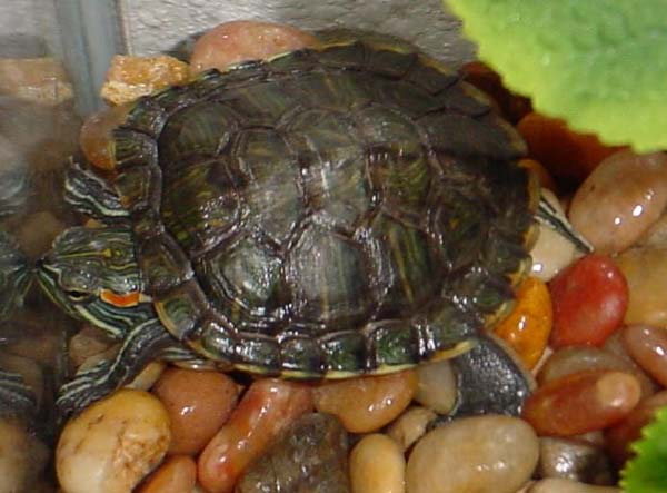 Red-eared Slider | Trachemys scripta photo