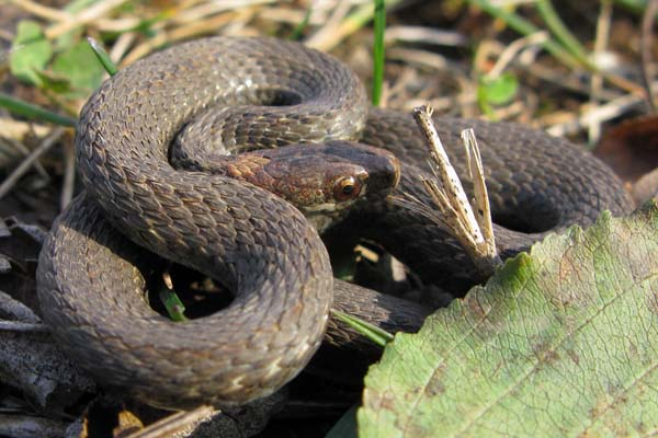 Redbelly Snake | Storeria occipitomaculata photo