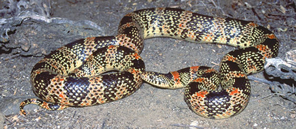 Long-Nosed Snake | Rhinocheilus lecontei photo