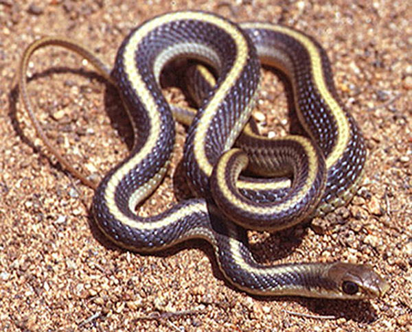 Coast Patch-Nosed Snake   Salvadora hexalepis-virgultea photo