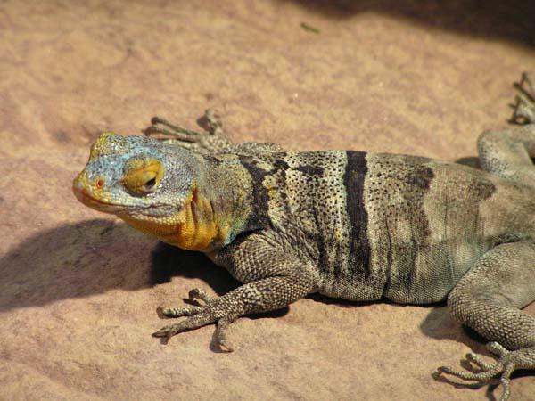 Baja Blue Rock Lizard   Petrosaurus thalassinus photo