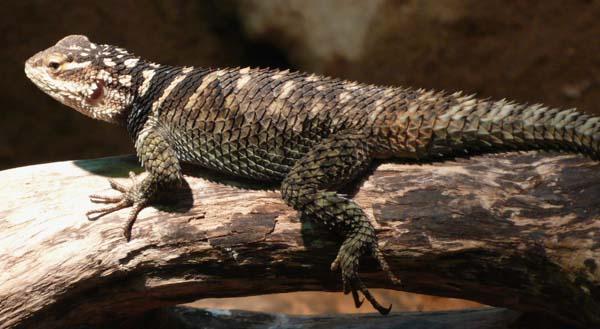 Blue Spiny Lizard | Sceloporus serrifer photo