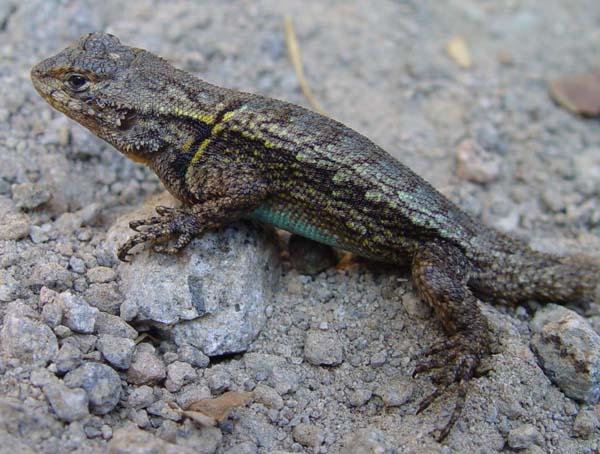 Mesquite Lizard | Sceloporus grammicus photo