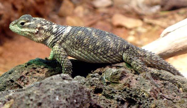 Crevice Spiny Lizard   Sceloporus poinsettii photo