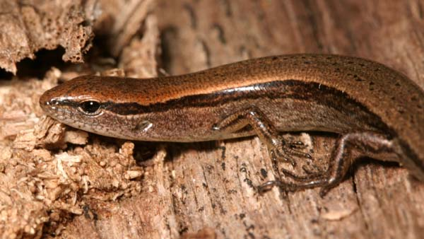 Ground Skink | Scincella lateralis photo