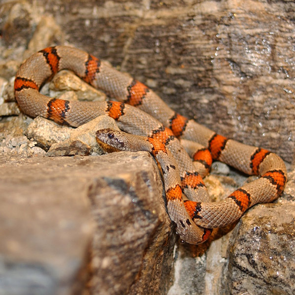 Gray-banded Kingsnake | Lampropeltis alterna photo