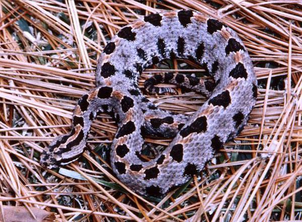 Carolina Pigmy Rattlesnake | Sistrurus miliarius-miliarius photo
