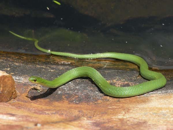 Smooth Green Snake   Opheodrys vernalis photo
