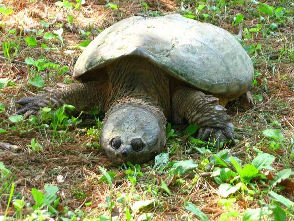 Common Snapping Turtle | Chelydra serpentina photo