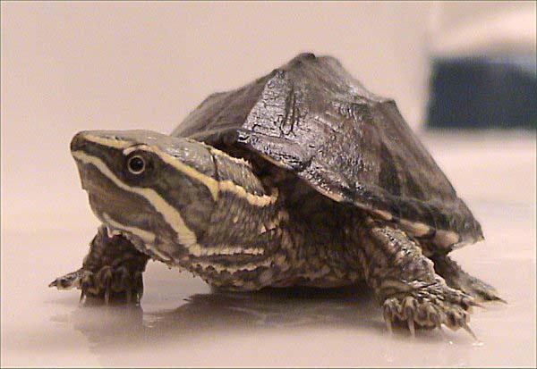 Common Musk Turtle | Sternotherus odoratus photo