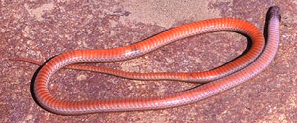 Western Blackhead Snake | Tantilla planiceps photo