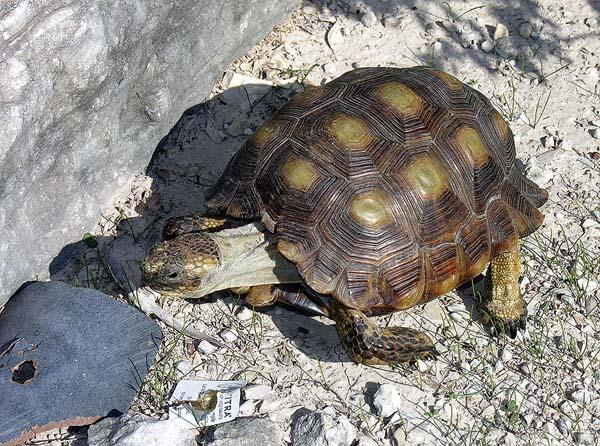 Texas Tortoise | Gopherus berlandieri photo