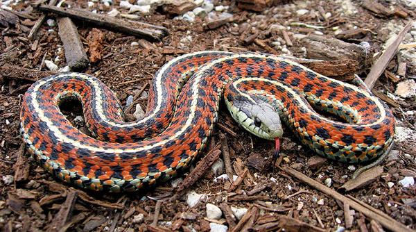 Coast Garter Snake | Thamnophis elegans-terrestris photo