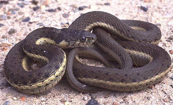Two-Striped Garter Snake | Thamnophis hammondii photo