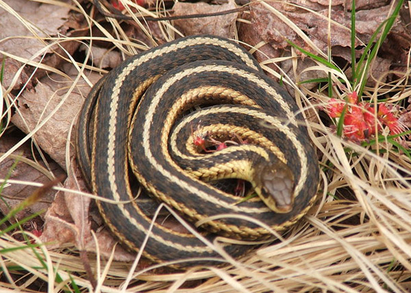 Butler's Garter Snake | Thamnophis butleri photo