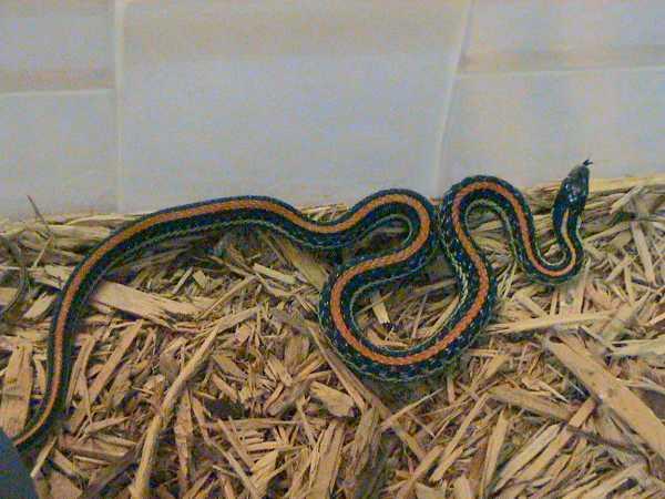 Texas Garter Snake | Thamnophis sirtalis-annectens photo