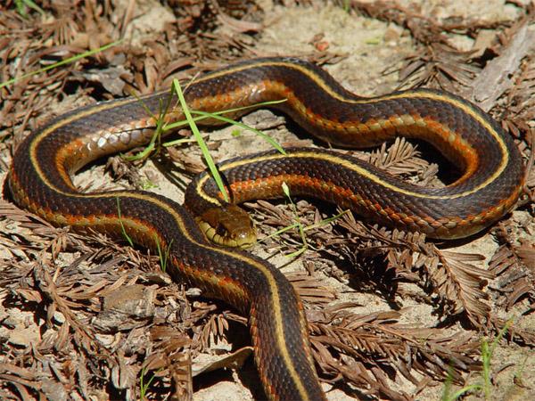 California Red-Sided Garter Snake | Thamnophis sirtalis-infernalis photo