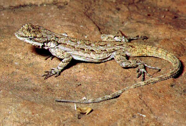 Tree Lizard | Urosaurus ornatus photo