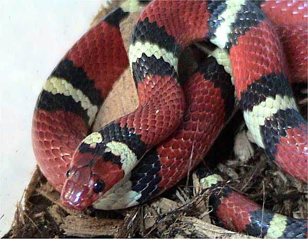 Scarlet Kingsnake | Lampropeltis triangulum-elapsoides photo