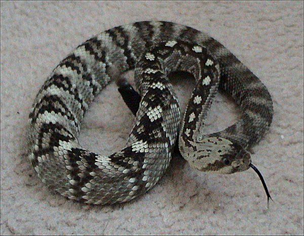 Blacktail Rattlesnake   Crotalus molossus-molossus photo