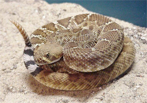 Red Diamond Rattlesnake | Crotalus ruber photo