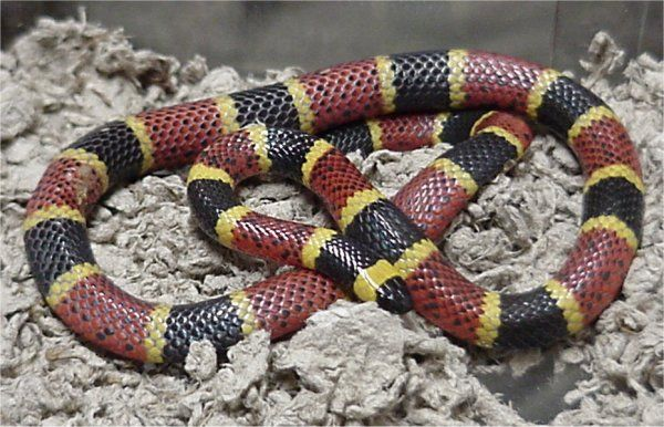 Texas Coral Snake | Micrurus tener photo