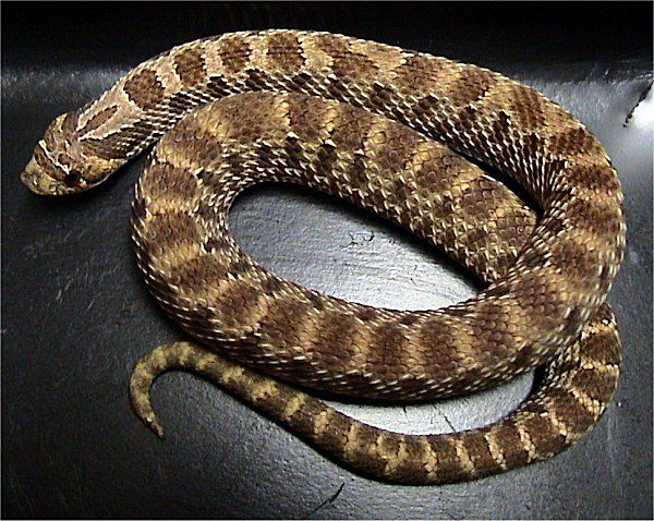 Western Hognose Snake | Heterodon nasicus photo