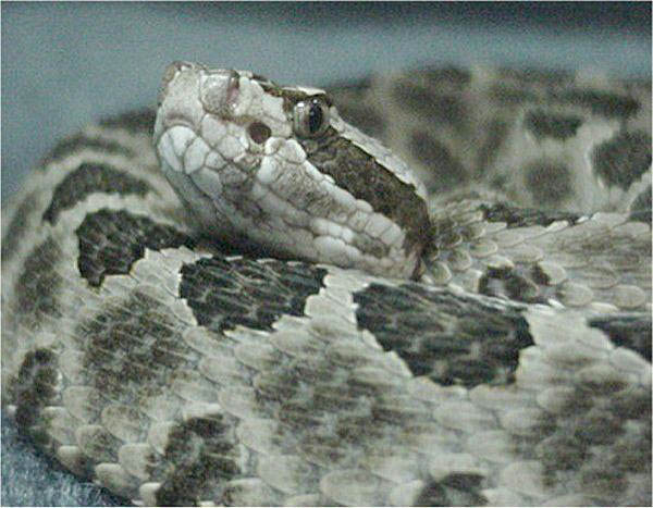 Western Massasauga   Sistrurus catenatus-tergeminus photo