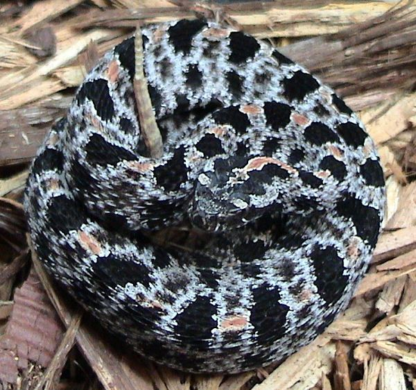 Western Pigmy Rattlesnake | Sistrurus miliarius-streckeri photo