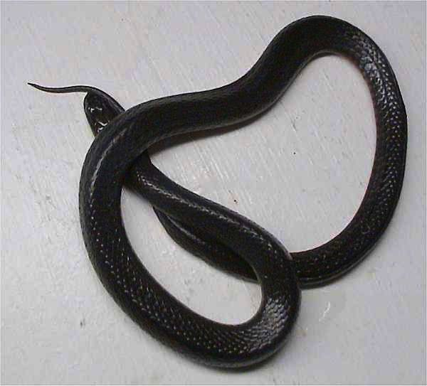 Swamp Snake | Seminatrix pygaea photo