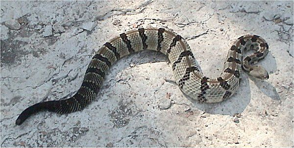 Timber Rattlesnake | Crotalus horridus photo