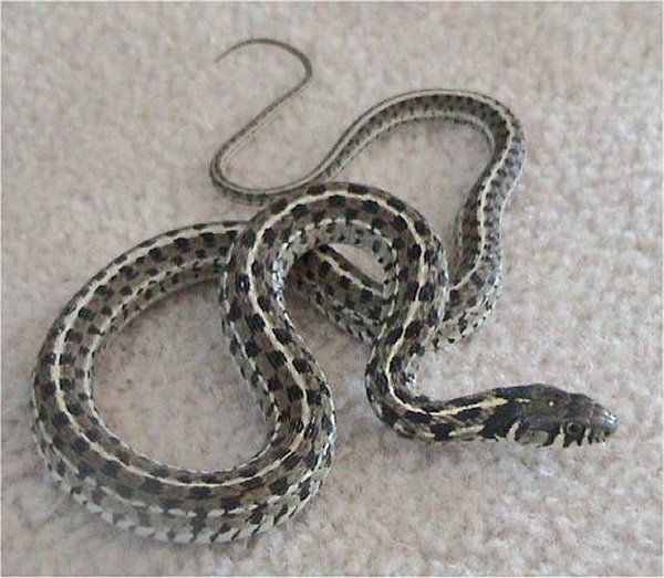 Checkered Garter Snake | Thamnophis marcianus-marcianus photo