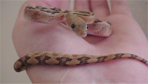 Trans-Pecos Rat Snake | Bogertophis subocularis photo