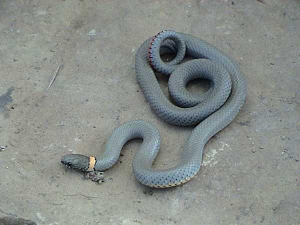 Regal Ringneck Snake | Diadophis punctatus-regalis photo