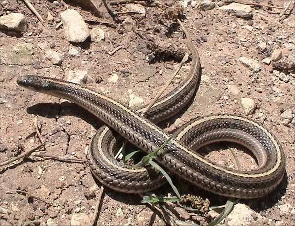Texas Lined Snake | Tropidoclonion lineatum-texanum photo