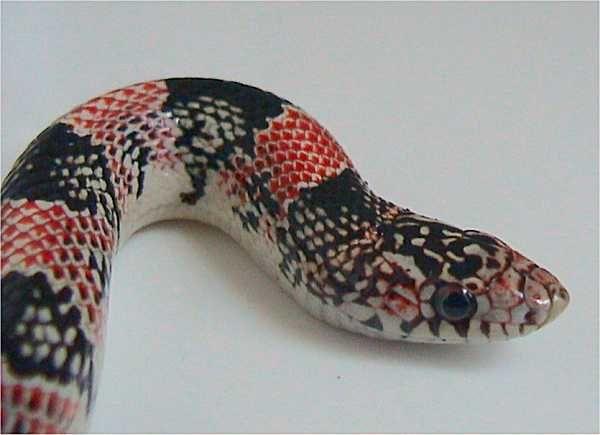Long-Nosed Snake   Rhinocheilus lecontei photo