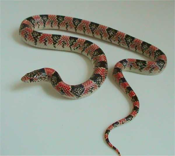 Long-Nosed Snake | Rhinocheilus lecontei photo
