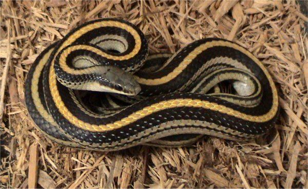 Mountain Patchnose Snake | Salvadora grahamiae photo