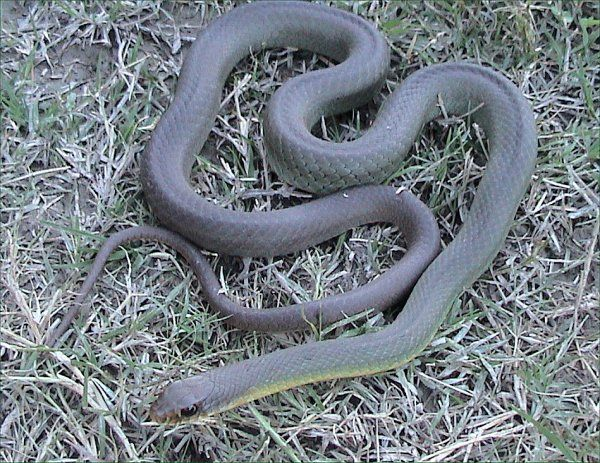 Eastern Yellow Belly Racer