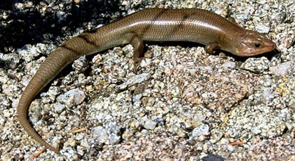 Gilbert's Skink | Eumeces gilberti photo