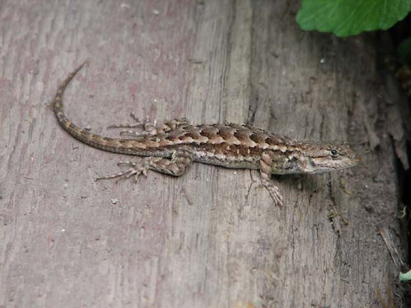 Western Fence Lizard | Sceloporus occidentalis photo