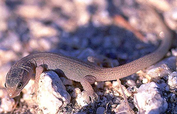 Desert Night Lizard | Xantusia vigilis photo