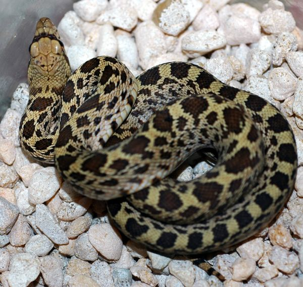 Bullsnake | Pituophis catenifer-sayi photo