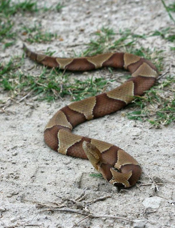 Southern Copperhead | Agkistrodon contortrix-contortrix photo