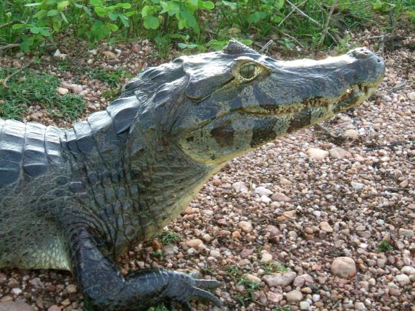 Common Caiman   Caiman crocodilus photo